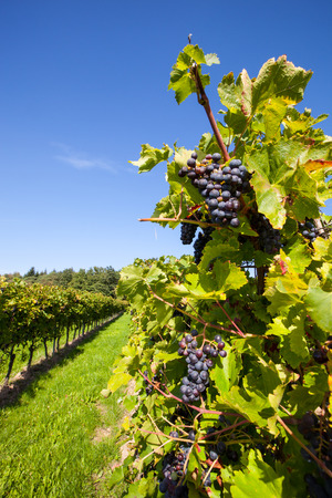 red grapes at a vine in a german vineyard in early harvest under a blue sky