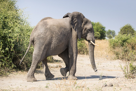 grey male elephant bull coming out of the bush, Chobe National Park, Botswana, Africa