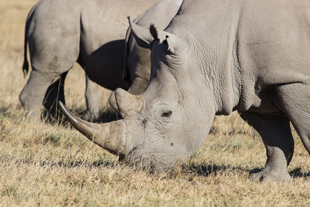 grassing: portrait of a grassing white rhinoceros on a dry meadow in winter, South Africa Stock Photo