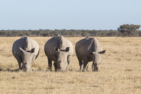grassing: portrait of three grassing white rhinos on a dry meadow in winter, South Africa