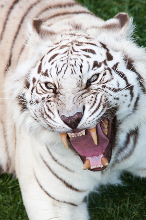 attack of an angry black striped white bengal tiger with open muzzle, showing his teeth Stock Photo