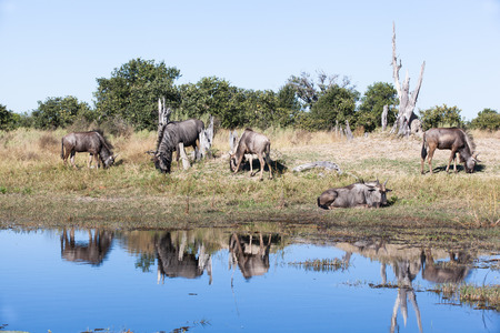 grassing: herd of blue wildebeest grassing and resting at a waterhole in Moremi Game Reserve, Botswana; Africa