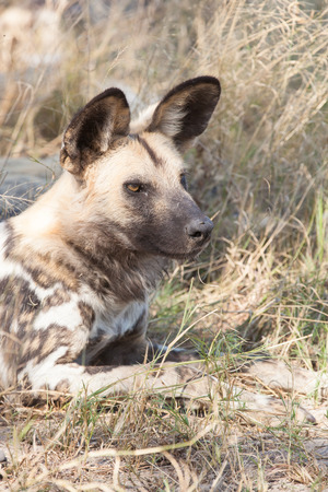 portrait of a watchful resting wild dog in the dry grass of Moremi Game Reserve; Botswana; Africa photo