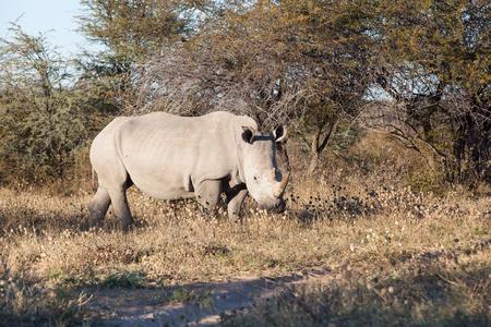 grassing: white rhino grassing in the dry african bush, Khama Rhino sanctuary, Botswana, Africa Stock Photo