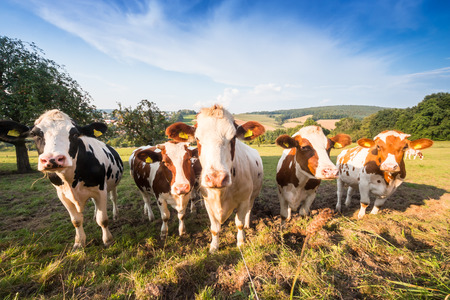 agriculture landscape: herd of german Fleckvieh and Schwarzbunte cows on a green meadow in the Odenwald, Germany