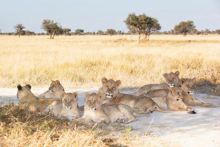 pride of young lions resting in the shade, Khutse Game Reserve, Botswana, Africa