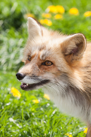 canny: portrait of a sly red fox in a fresh green meadow in spring