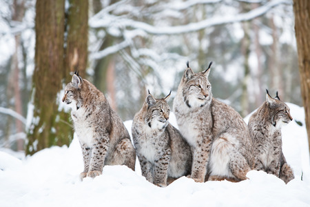 lynx family with four bobcats sitting in a snowy winter forest Stok Fotoğraf