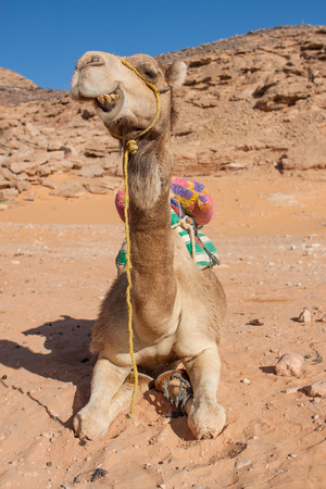 in the sand of the Sahara desert sitting camel ruminating and showing his teeth , Egypt, Africa photo