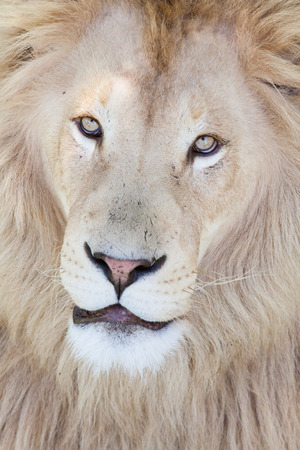 portrait of a male lion looking straight in the camera, Africa