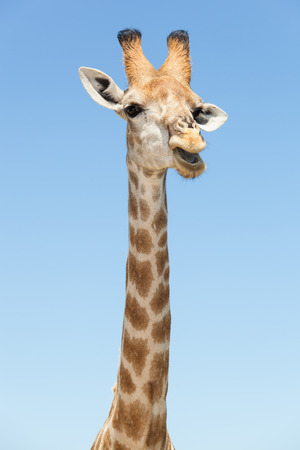surmount: portrait of a giraffe standing with open mouth in front of a blue sky