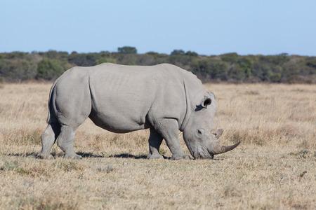 grassing: white rhino grassing in the dry savanna of Khama Rhino Sanctuary, Botswana Africa