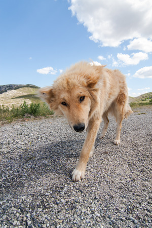trusty: greek faithful sheepdog on a country road in the mountains, Peloponnesus, Greece, Europe