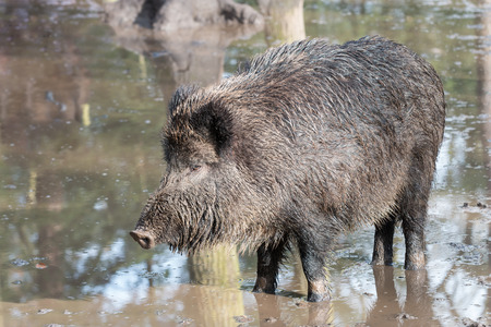 inundated: female wild boar in the flooded forest, Germany, Europe Stock Photo