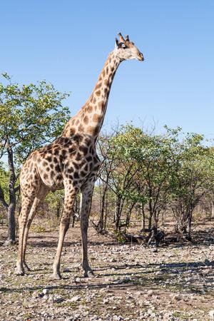 veld: Griraffe standing tall in the dry veld of Etosha National Park, Namibia, Africa