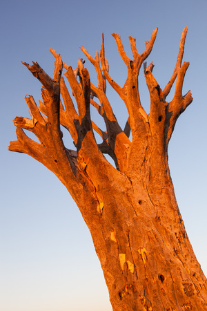 desertification: treetop of a dead kookerboom in the evening sun, Quivertree Forest, Keetmanshoop, Namibia, Africa