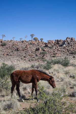grassing: wild brown horse in the stony Namib desert with quivertrees, Namibia, Africa