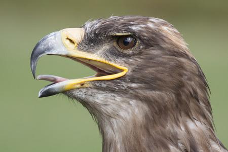 beak: head of european brown to golden eagle with open beak Stock Photo