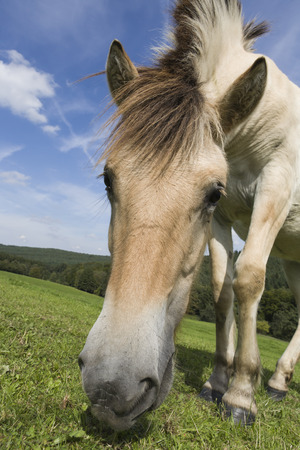 portrait of a light brown grassing Haflinger horse on a meadow, Germany, Europe photo