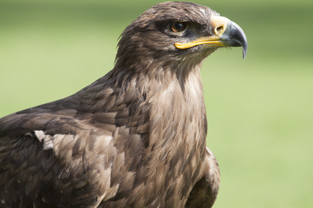 golden eagle: portrait of a brown european golden eagle with closed beak Stock Photo