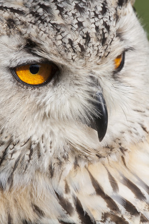 watchful: portrait of a watchful european eagle owl with orange eyes, Germany, Europe
