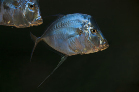 filamentous: portrait of two swimming silverlook-down pompano fishes in dark deep seawater Stock Photo