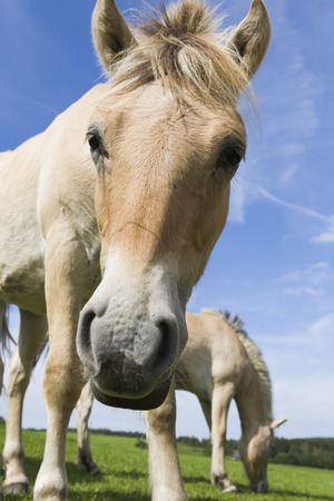 two light brown Haflinger horses on a meadow, Germany, Europe photo