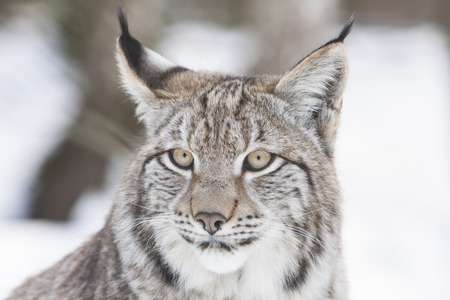 portrait of a watchful lynx head in the snow of a winter forest