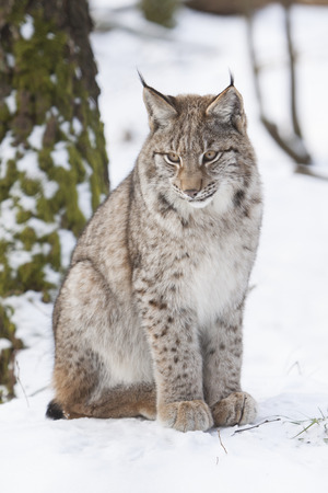 portrait of a watchful  lynx sitting in the snow of a winter forest