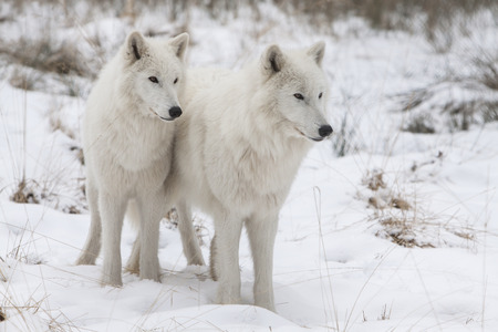 portrait of two white watchful arctic wolfs standing in the snow of  a winter forest