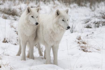 lobo: retrato de dos vigilantes lobos árticos blancos de pie en la nieve de un bosque de invierno