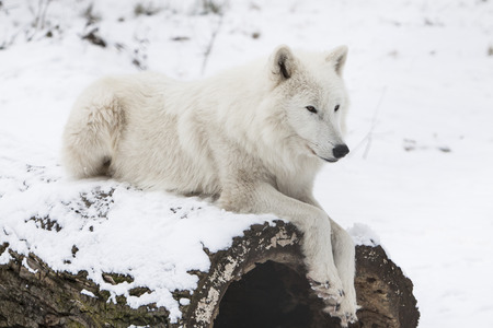 white arctic wolf resting on a trunk in snowy white winter forest