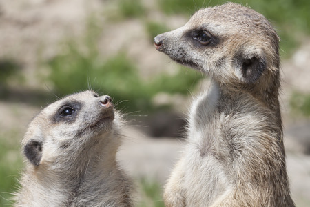 watchful: portrait of two watchful meerkat, South Africa