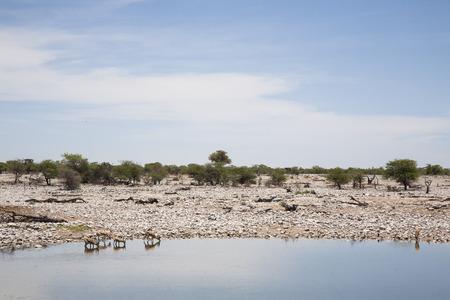 springbok: springbok herd at Okaukuejo waterhole, Etosha, Namibia, Africa