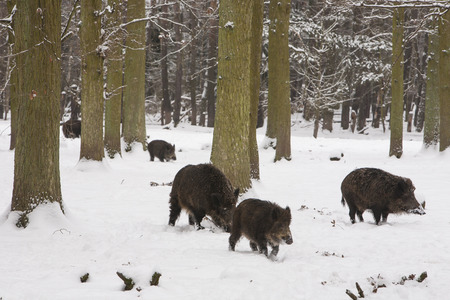 omnivores: wild boar pack in the snow of winter forest, Europe