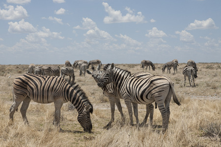burchell: zebra herd in the dry bush land of etosha National Park, Namibia, Africa Stock Photo