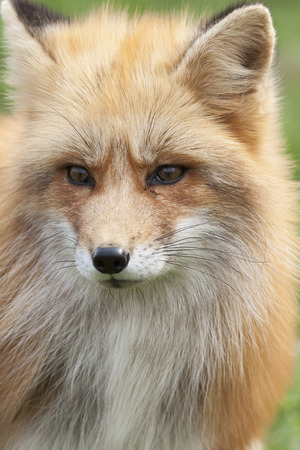 watchful: portrait  closeup of a watchful red fox, Germany, Europe