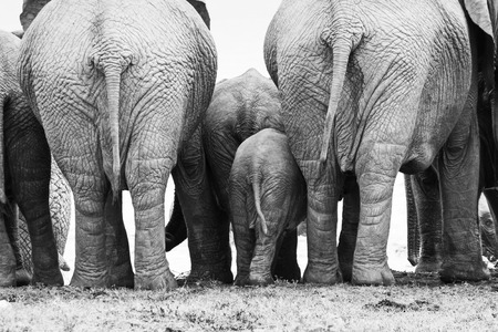 backside of a elephant herd standing close together in black and white, Addo Elephant Park, South Africa