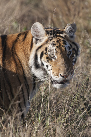 watchful: portrait of a watchful bengal tiger in the dry grass