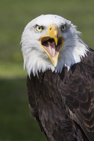 portrait of crying or american eagle bald eagle with open beak