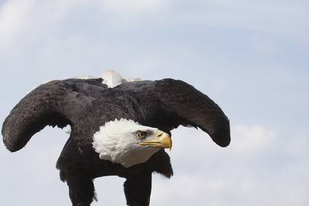 portrait of an american eagle or bald eagle ready for take off, concept for starting now photo