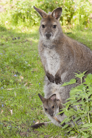 kangaroo mother: kangaroo mother with a little cub in its pouch sitting on a green meadow, Australia Stock Photo
