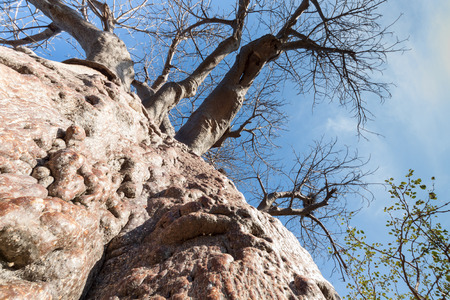 bark peeling from tree: view from an ancient trunk of a baobab tree with bald branches to the treetop  and the blue sky,South Africa