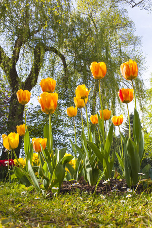 blushing: park in spring with a tree and a bed of orange and yellow Blushing Apeldoorn tulips