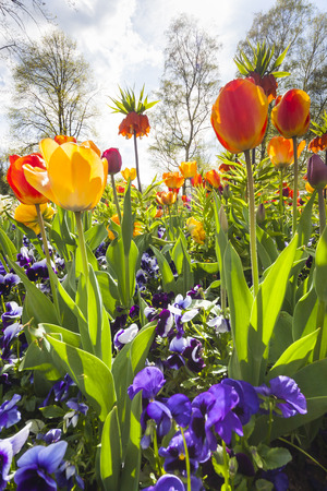violas: bed of violet violas and orange and yellow tulips in spring