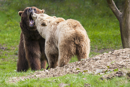threaten: couple of two wild brown bears with open muzzles standing close together on a meadow and threaten with their teeth