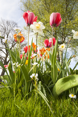 flower bed in a park with colorful tulips and white daff narcissus in spring