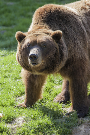 watchful: portrait of a watchful male brown bear in a meadow Stock Photo