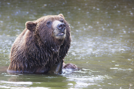 wet bear: portrait of a bathing male brown bear in a lake