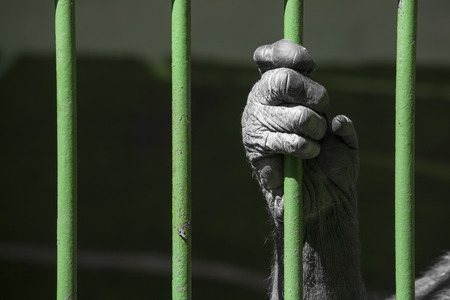 cruelty: black hand of a chimpanzee monkey holding the green grid of his cage. Concept for captivity of wild animals, animal welfare and cruelty to animals